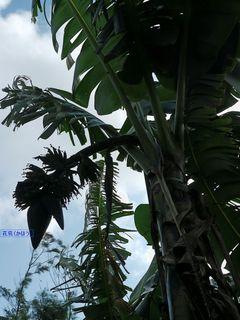 1月9日のかず君バナナ2.jpg