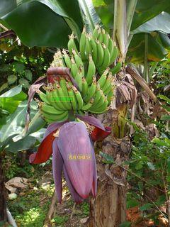 引っ越し前のバナナ1.JPG