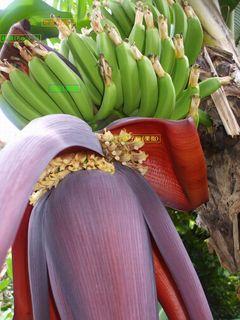 引っ越し前のバナナ2.JPG